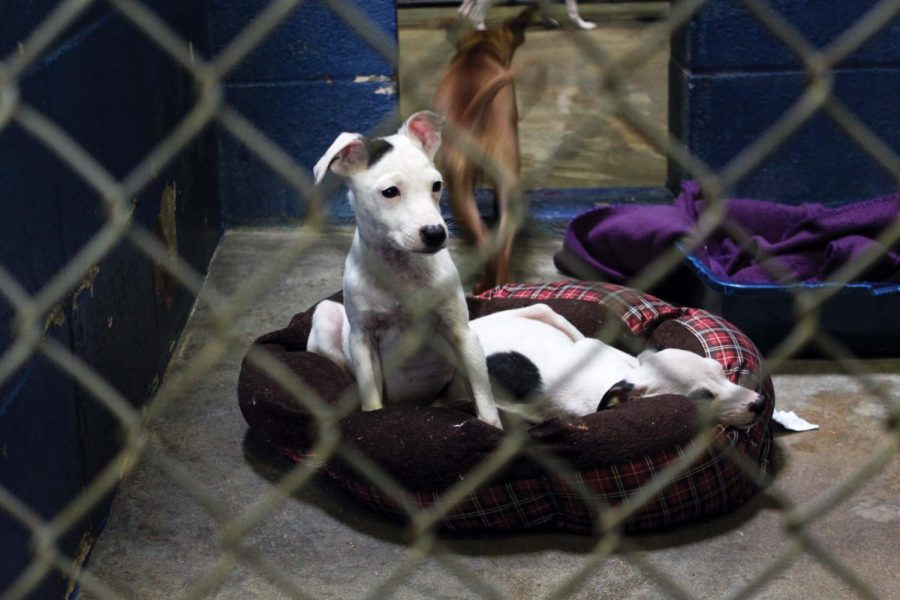 Animals await adoption in their kennels at the Florence/Lauderdale Animal Shelter.