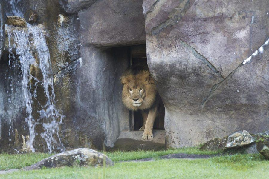 Leo III enters the George H. Carroll Lion Habitat. Anyone with Internet access can now watch the lions during the day through the LionCam link at una.edu/lioncam.