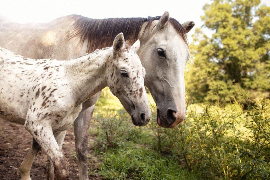 A+Sacred+Way+Sanctuary+Mare+and+her+baby+wander+in+a+field.+Sacred+Way+Sanctuary+is+an+education+and+research+facility+focusing+on+the+preservation+of+the+Native+American+horse%2C+said+Yvette+Collin%2C+founder+of+the+sanctuary.